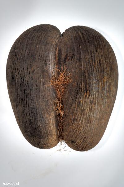 _d015159___frucht_der_seychellenpalme_(seychellenpalme_(lodoicea_seychellarum___coco_de_mer____seychellennuss___meeres-kokosnuss).jpg