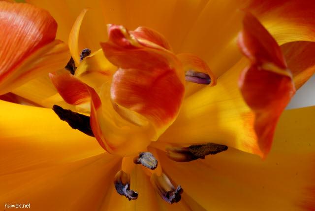 _d015175___verbluehende_tulpe_in_gelb_und_orange.jpg