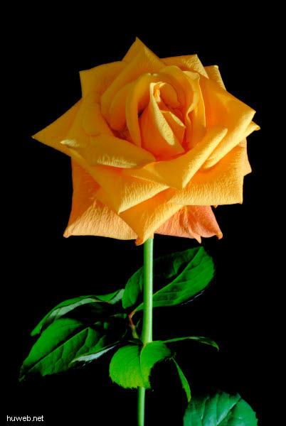 d01_2182__gelbe_rose_gelbe_rose_vor_schwarzem_hintergrund.jpg
