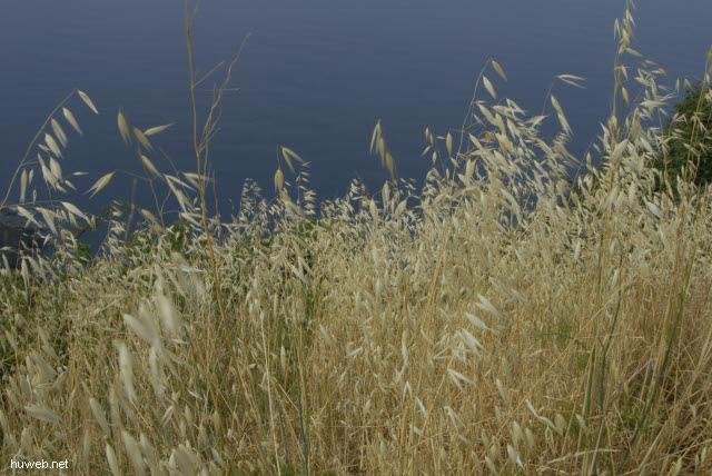it2006-100__cinque_terre,_italien_2006_wildes_getreide_vor_dem_ligurischen_meer.jpg