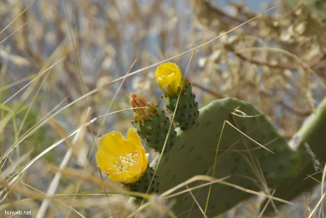 it2006-138__cinque_terre,_italien_2006_kaktus_bluete.jpg