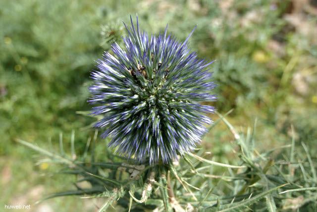tn-2007-088___chemtou,_distel_(echinops),_tunesien_2007.jpg
