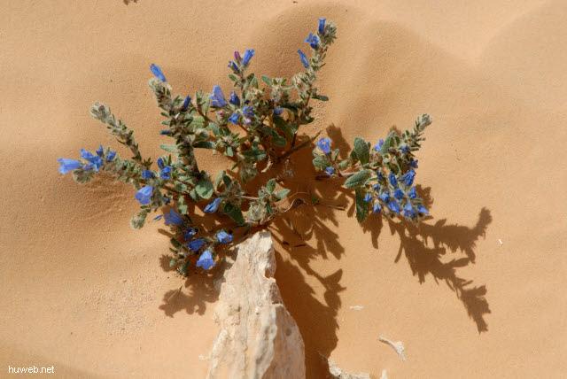 tn-2007-556___blume_in_der_wueste_(echium),_tunesien_2007.jpg
