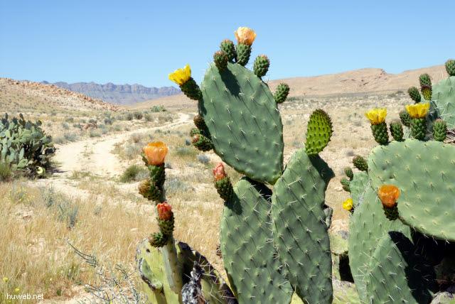 tn-2007-670___bluehender_kaktus,_suedlich_bou_onrane,_tunesien_2007.jpg