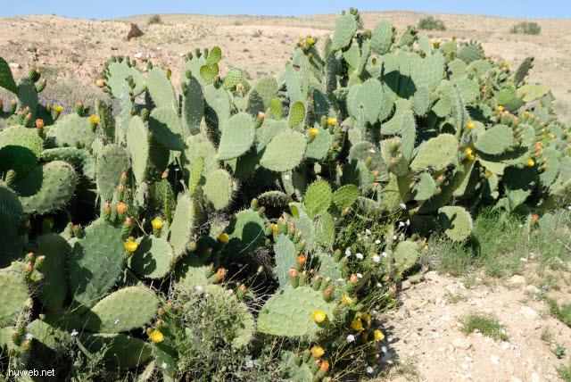 tn-2007-672___bluehender_kaktus,_suedlich_bou_onrane,_tunesien_2007.jpg