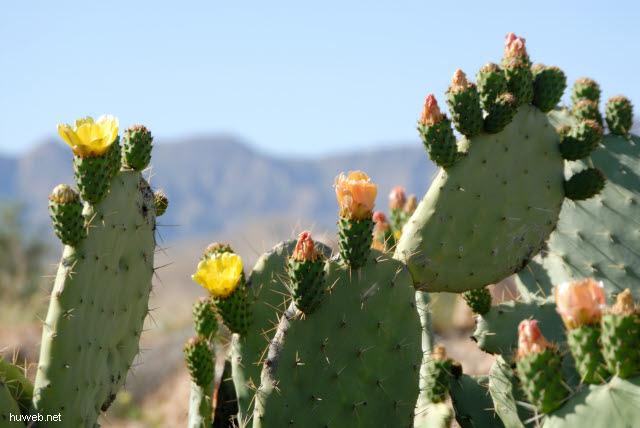 tn-2007-673___bluehender_kaktus,_suedlich_bou_onrane,_tunesien_2007.jpg